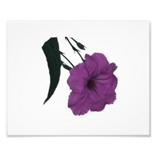 Flor colorized rosa mexicano de la petunia impresiones fotograficas