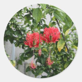 Flor coralina franjada tropical del hibisco pegatina redonda