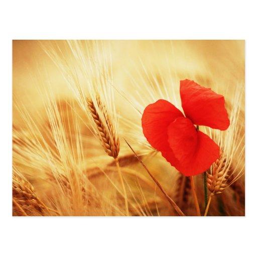 Flor de amapola en Getreidefeld Tarjeta Postal