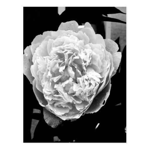 Flor de Brunswick Postales