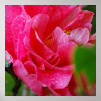 Flor de Camelia de las rosas fuertes Posters