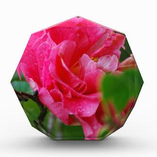 Flor de Camelia de las rosas fuertes