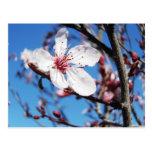 Flor de cerezo 2 postales