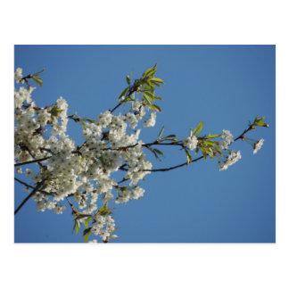 Flor de cerezo blanca y cielo azul postal