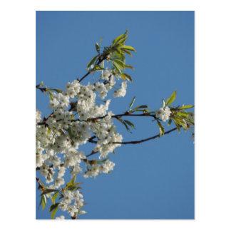 Flor de cerezo blanca y cielo azul tarjetas postales
