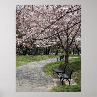 flor de cerezo de la C.C. de Washington Póster