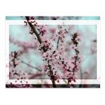 Flor de cerezo hermosa de la primavera postales