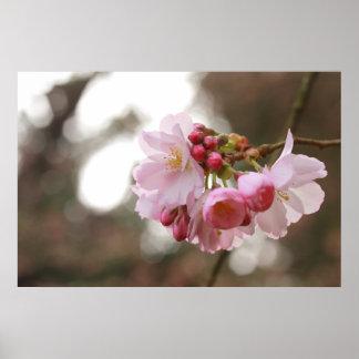 flor de cerezo japonesa en la luz póster