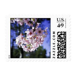 Flor de cerezo que florece en California Sello