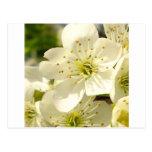 Flor de cerezo tarjeta postal