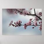 Flor de cerezo y cielo poster