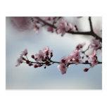 Flor de cerezo y cielo tarjeta postal