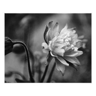 Flor de Columbine en blanco y negro Arte Fotográfico