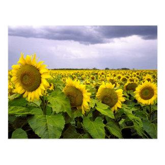Flor de estado de Kansas - el girasol Postales