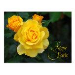 Flor de Estado de Nuevo York: Color de rosa Tarjeta Postal