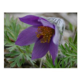 Flor de estado norte-sur de Pasque Dakota de la Tarjeta Postal
