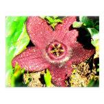 Flor de estrellas de mar - cactus púrpura/flor suc tarjetas postales