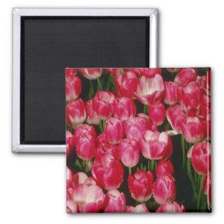 """Flor de Gesneriana de Tulipa """"Coriolor"""" (tulipán) Imán Cuadrado"""