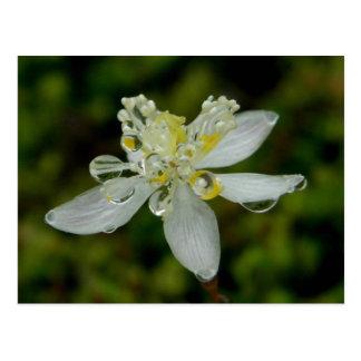 Flor de Goldthread en la isla de Unalaska Postales