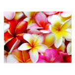 Flor de Hawaii del Frangipani del Plumeria modific Postales
