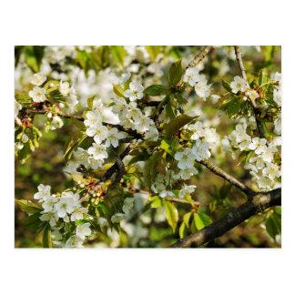 Flor de kirsch floreciendo cepo de cerezo postal