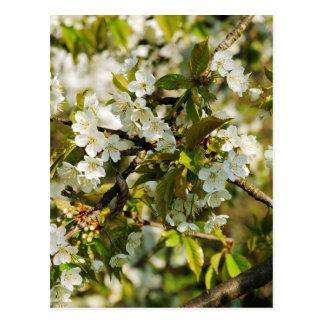 Flor de kirsch floreciendo cepo de cerezo postales
