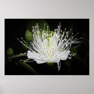 Flor de la alcaparra en la impresión de la noche posters