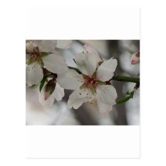 Flor de la almendra en Sierra Espuna, Murcia, Espa Tarjetas Postales