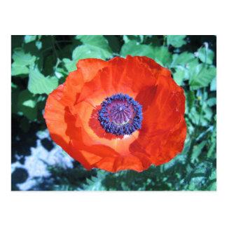Flor de la amapola postal