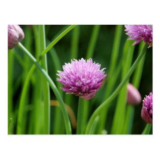 Flor de la cebolleta tarjeta postal