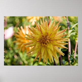 Flor de la dalia--Poppers Póster