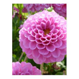 Flor de la dalia postal