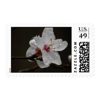 Flor de la flor de cerezo franqueo