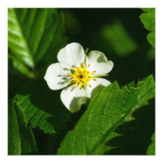 Flor de la fresa salvaje fotografía