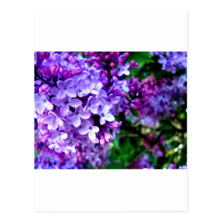 Flor de la lila postales