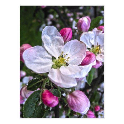 flor de la manzana tarjeta postal