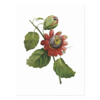flor de la pasión alata de la pasionaria por postal