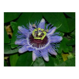 Flor de la pasión del caerulea de la pasionaria de postal