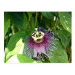 Flor de la pasión - púrpura postal
