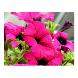 flor de la petunia tarjeta postal