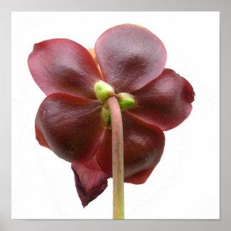 Flor de la planta de jarra del purpurea del Sarrac Póster