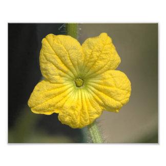 Flor de la sandía foto
