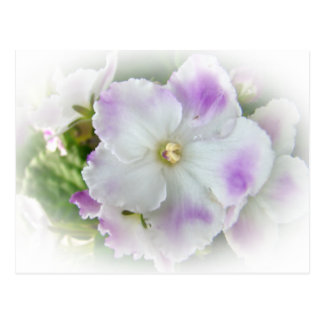 Flor de la violeta africana postales