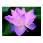 Flor de loto púrpura hermosa en agua tarjeta postal