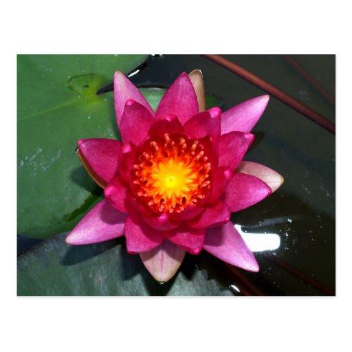 flor de loto tarjetas postales