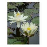 Flor de Lotus blanco Postal