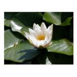 Flor de Lotus del lirio de agua blanca Postal