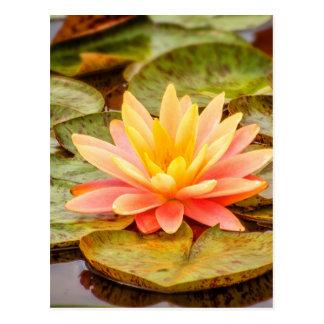 Flor de Lotus del melocotón Tarjetas Postales