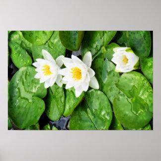 Flor de Lotus emergente Poster