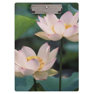 Flor de Lotus en el flor China